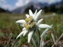 edelweiss jaya