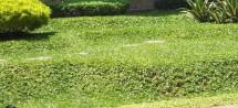 parung tanaman