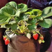 strawberry17