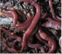 Organic Worm