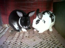 Sihite Rabbit
