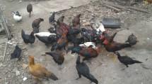 Hugo - Ayam dan Pakannya