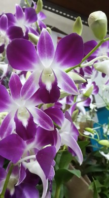 davina orchid