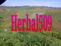 herbal509