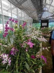 Vallen Orchid
