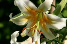lilyriryzki