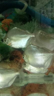 Jogja Fish