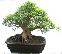 bonsai artha vio