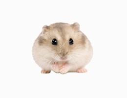 Perawatan Hamster