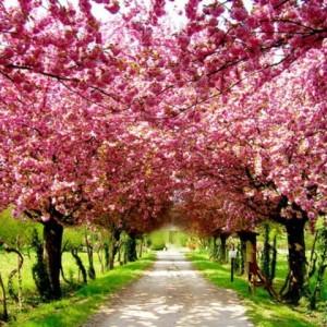 Amefurashi Bibit Benih Bunga Gerbera Daisy Flower. Source · Bibit Sakura Tokopedia