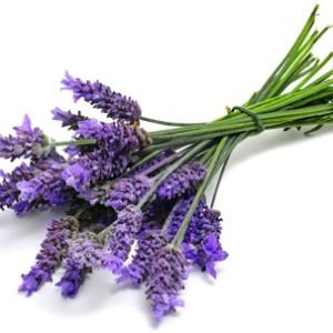 bibit Biji Benih Bunga Lavender Herb Tanaman Hias bkn Bonsai Kebun
