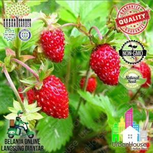 Bibit Tanaman Strawberry Tokopedia
