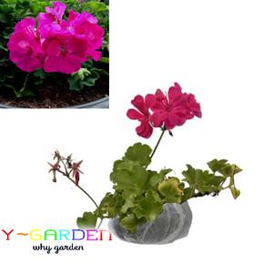 Jual Pink Fuchsia Geranium / Pelargonium / Bibit Tanaman Bunga Hias Cantik