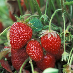 Bibit Tanaman Buah Strawberry Earlybrite