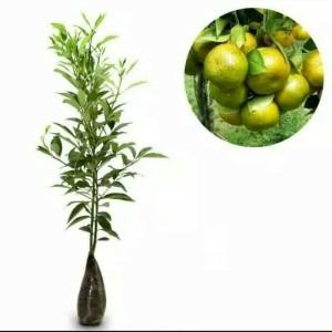 Jual Paket 3 bibit tanaman hidup buah jeruk siam madu pontianak