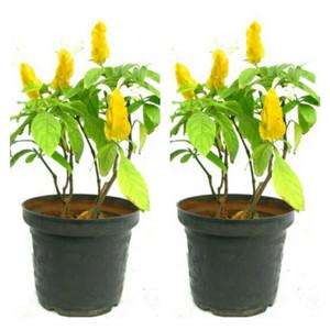 Jual tanaman hias bunga lilin - bunga lolipop 2pcs