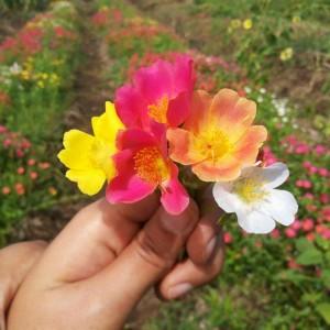 Jual Stek Mossrose Portulaca Grandiflora Single Petal Mixed 10batang 17270201f4