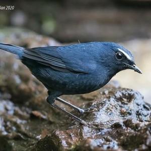 Jual Burung Cingcoang Biru Alis Jantan Jakarta Timur Datuk Jaya Tokopedia