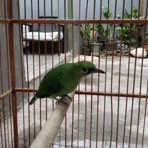 Jual Burung Cucak Ijo Betina Jakarta Pusat Dosna Tokopedia