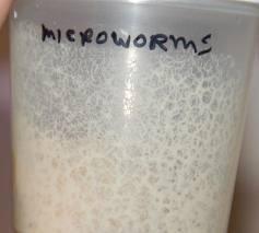 Micro worm pakan hidup untuk burayak cupang,guppy,molly dan ikan kecil