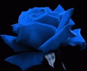 Benih Mawar Biru / Blue Rose (Import)