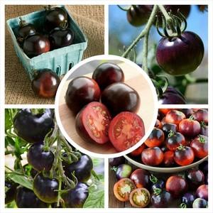 Bibit / Benih TOMAT UNGU / indigo rose tomato IMPORT