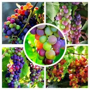 BIBIT GRAPE RAINBOW / Anggur PELANGI