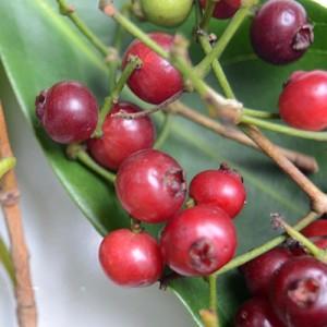 [20 butir] benih buah salam