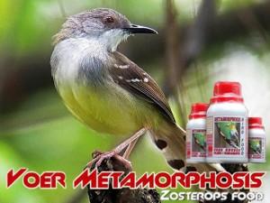 Pakan Burung Ciblek (Metamorphosis Bird Food)