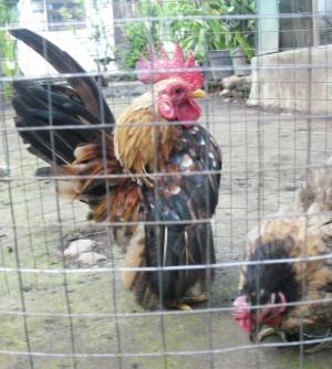 harga Ayam Serama Tokopedia.com