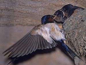 Peluang Usaha Walet - Mendatangkan Burung Walet