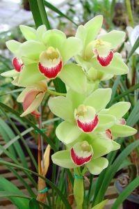 harga benih/biji/bibit bunga anggrek orquidea warna hijau lidah merah Tokopedia.com