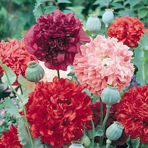 Benih Bibit Biji Bunga GIANT DOUBLE MIX Peony Unik