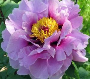Benih Bibit Biji Bunga Peony Purple
