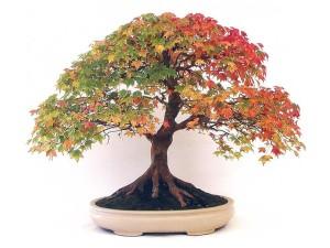 Bibit / Benih / Biji Bunga Maple