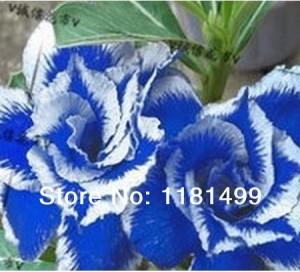 harga Benih/ Biji/ Bibit Bunga Adenium Blue Beauty Tokopedia.com