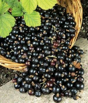 Image result for buah Blackcurrant