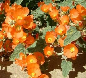 Jual Benih / Bibit / Biji - Bunga Apricot Mallow (Tahan