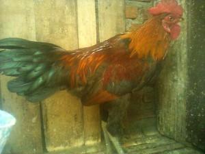 ayam hias ketawa ketawa