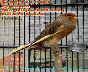 Burung Kenari YS Italy Ring Import FOI/14 (GACOR FULL)