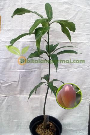 Bibit Mangga Irwin - 20-70cm