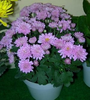 Jual Tanaman Jadi Bunga Krisan Ungu Muda Chrysanthemum Krisan Aster Kota Batu Erkha Florist Tokopedia