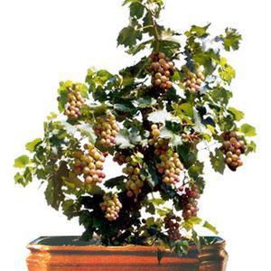 Bonsai Anggur.Salah satu jenis pohon bonsai