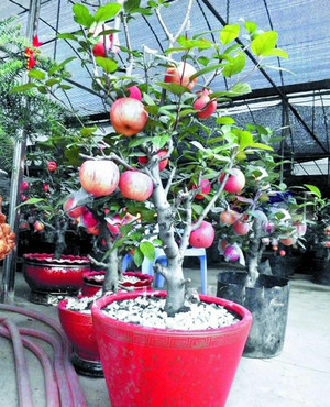 biji/benih/bibit bonsai buah apel fuji import