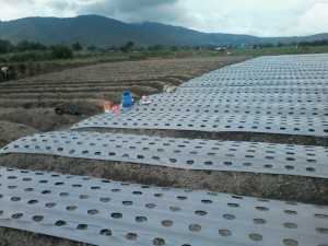 Plastik Mulsa Hitam Perak Plastik pertanian Lebar 160cm tebal 0.03mm