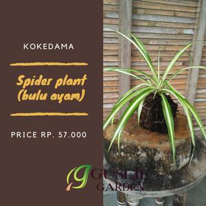 Kokedama - Spider plant
