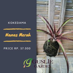 Kokedama - Nanas merah