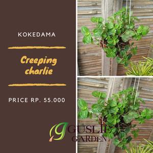 Kokedama - Creeping charlie