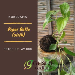 Kokedama - Sirih (piper betle)