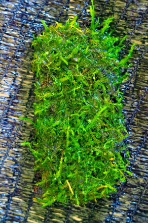 Moss Lempeng Peacock Tanaman Air Aquascape